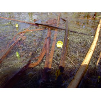 Utricularia gibba in Pitch Lake (Trinidad) 01