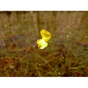 Utricularia gibba in Pitch Lake (Trinidad) 04