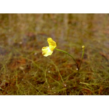 Utricularia gibba in Pitch Lake (Trinidad) 06